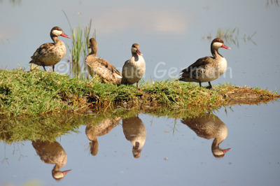 Red Beaked Teal Reflection
