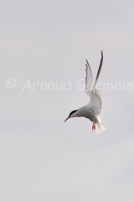 Tern Hovering