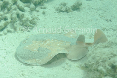 Torpedo ray or electric ray