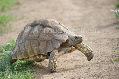 Leopard Tortoise Crossing the Road