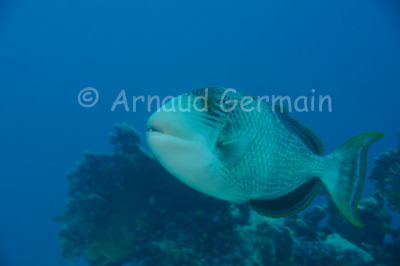 YellowmarginTriggerfish