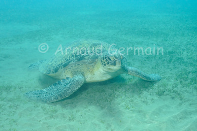 Green turtle on Sea Grass