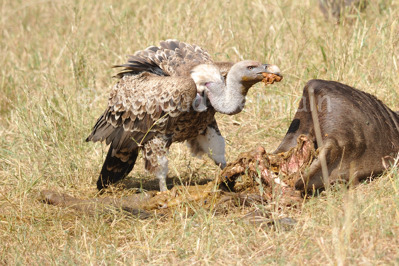 Ruppel's Griffon Vulture Meal