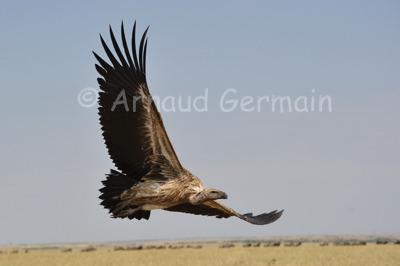 White Backed Vulture Soaring