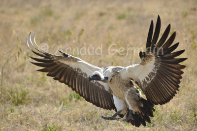 White Backed Vulture Landing
