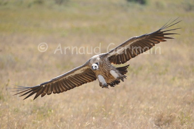 White Backed Vulture Landing (2)