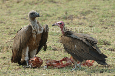 Vultures and skull