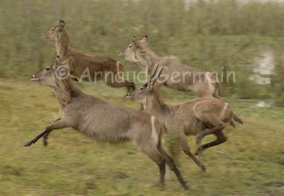 Waterbucks Running