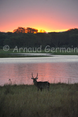 Waterbuck at Sunset