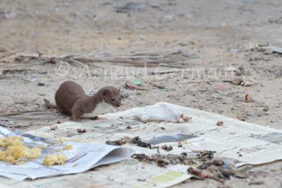 Least Weasel in the Street