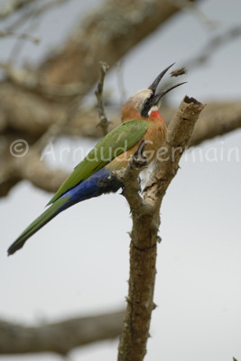 White Fronted Bee-Eater with bug