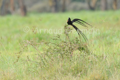 Long Tailed Widowbird during Mating Season