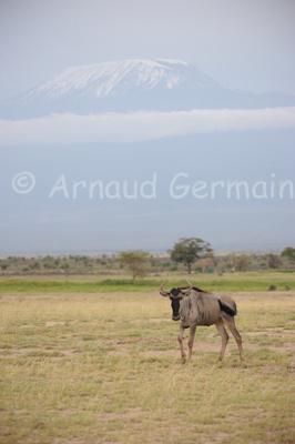 Wildebeest Under Kilimanjaro