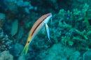 Goatfish and Cleaner Wrasse