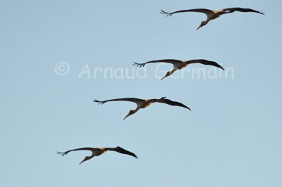 Yellow Billed Storks in flight formation