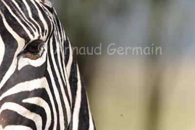 Arty Zebra