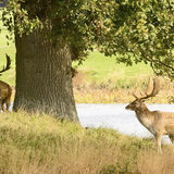 Young Fallow Stags