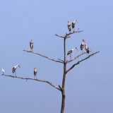Gallery of Painted Storks, Backwaters of Kerala