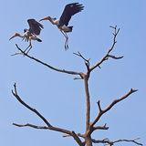 Pair of Painted Storks, Backwaters of Kerala