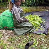 Tea Plantations at Munnar, selecting the best tips