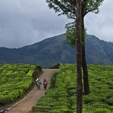 Tea Plantations at Munnar, finished for the day