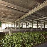 Tea Plantations at Munnar, spreading crop for drying