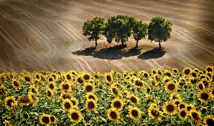 Sunflowers and Trees