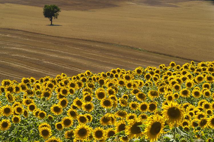 Sunflowers and Tree