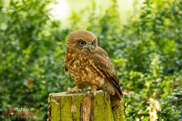 Boobook Owl 1