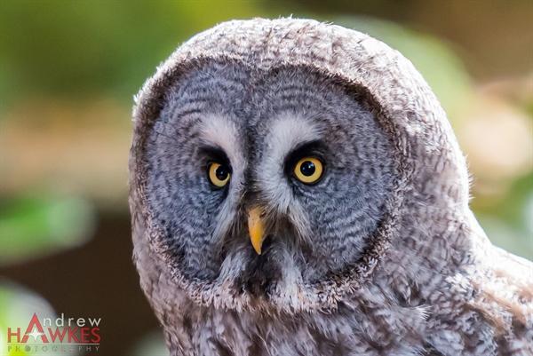 Grey Owl 4