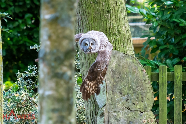 Grey Owl 6