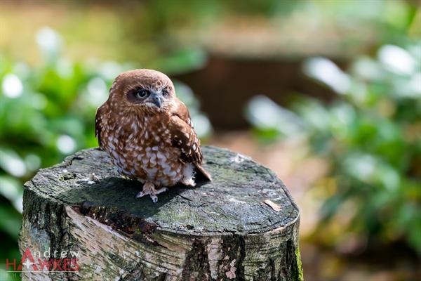 Boobook Owl 2