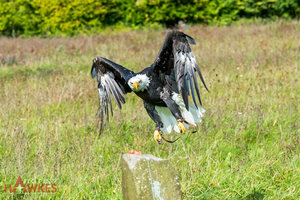 Bald Eagle 5
