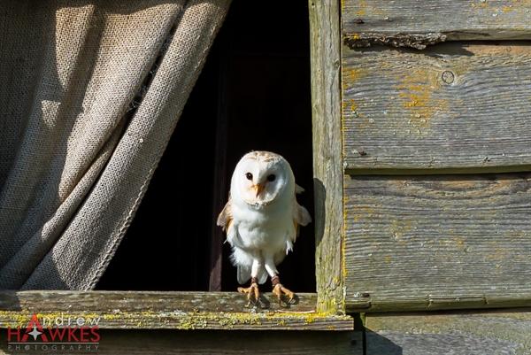 Barn Owl 5