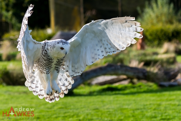 Snowy Owl 5