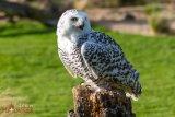 Snowy Owl 6