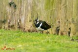Northern Lapwing-11