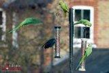 Parakeets-10