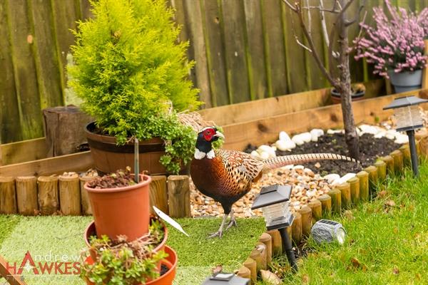 Pheasant-14