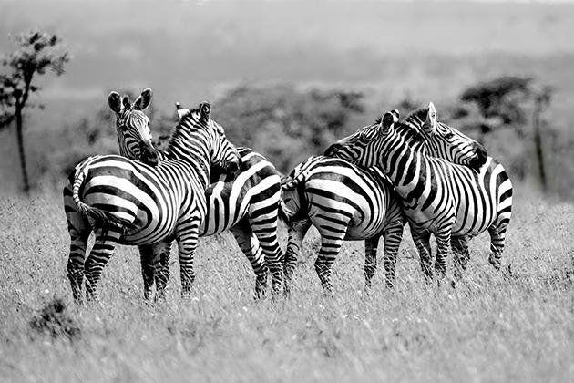 Zebra having a rest