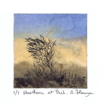 Hawthorn at Dusk