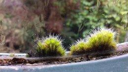 Window Moss