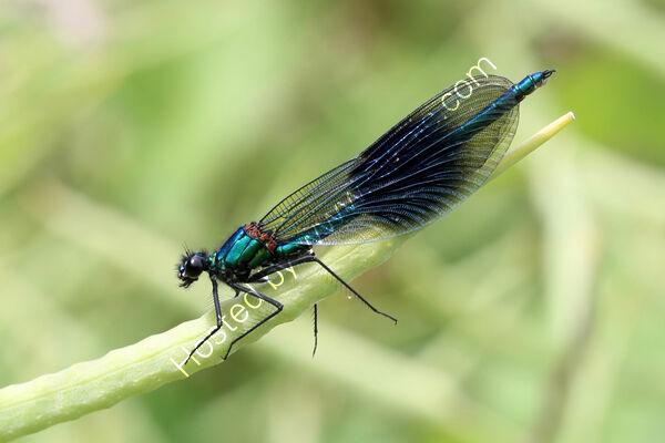2nd - Pete Evans - Beautiful Demoiselle Dragonfly