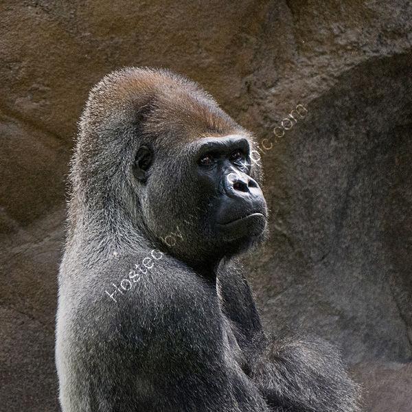 2nd Derek Middleton - Gorilla