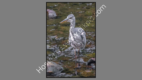 Commended - John Kennedy -  Grey Heron