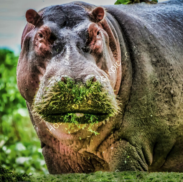 Commended - Liakat Parapia - Hippopotamus,Lake Naivasha,Kenya
