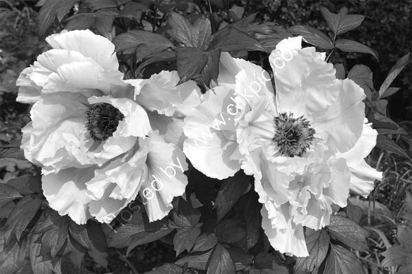 Commended - Sue Marshall - Tree Peony