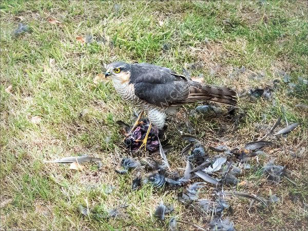 Commended Jean Middleton Sparrow Hawk with prey