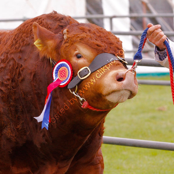 Commended Peter Evans - Champion at Otley Show_