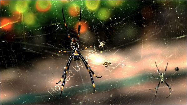 Macro & Minature - Harry Ferraby - Golden Web Spider